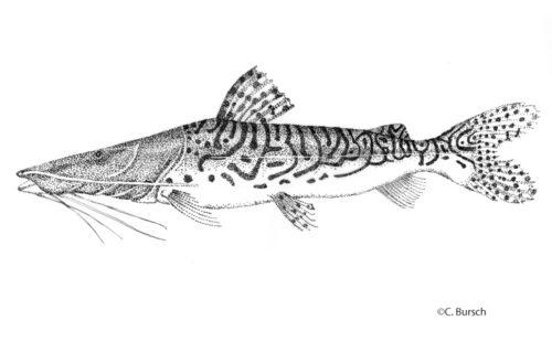 Surubí Pseudoplatystoma tigrinum ©Bursch